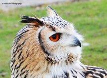 Bengal Eagle Owl 1