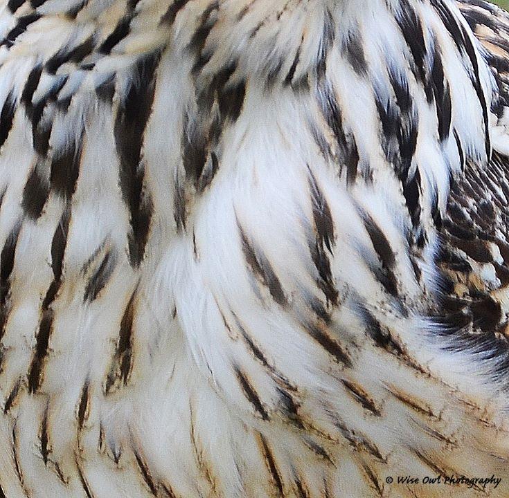 Goshawk Feathers 1