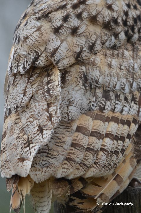 Bengal Eagle Owl Feathers 1