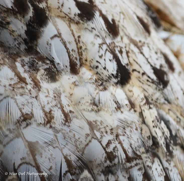 Bengal Eagle Owl Feathers 2