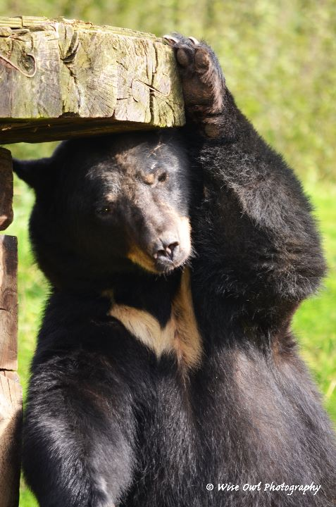 Black Bear - Scratching Post