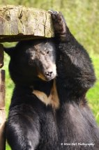Black Bear - Scratching Post