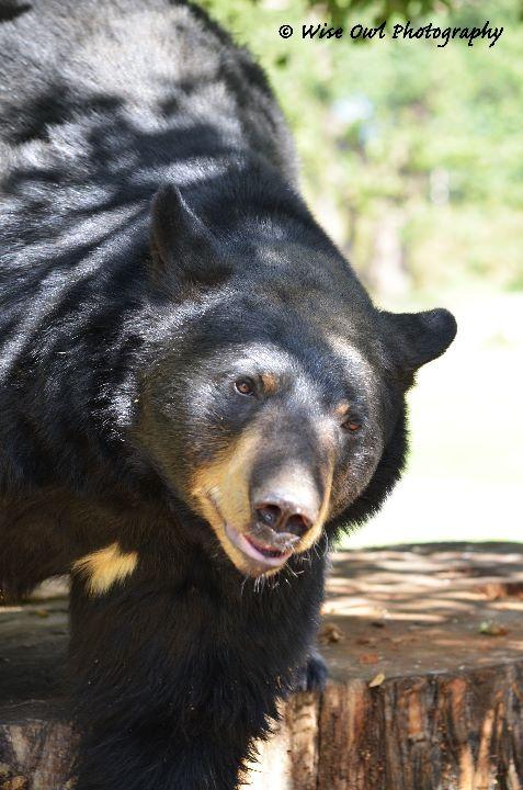 Black Bear 3