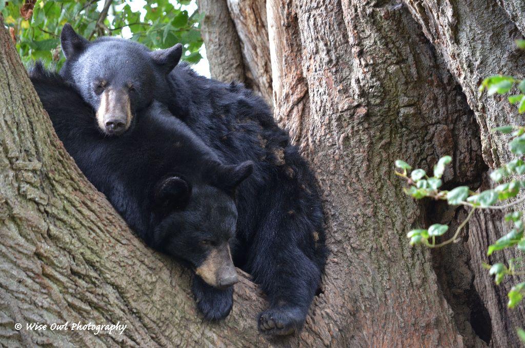 Black Bear Bunk Beds