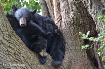 Black Bear Bunk Beds