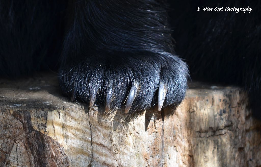 Black Bear Claws
