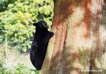 Black Bear Cub - This is my tree