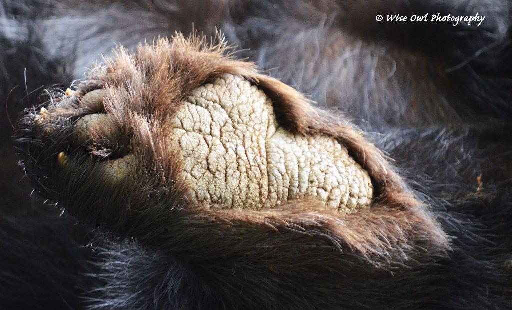 Black Bear Foot
