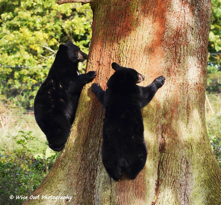 Black Bear Race to the Top