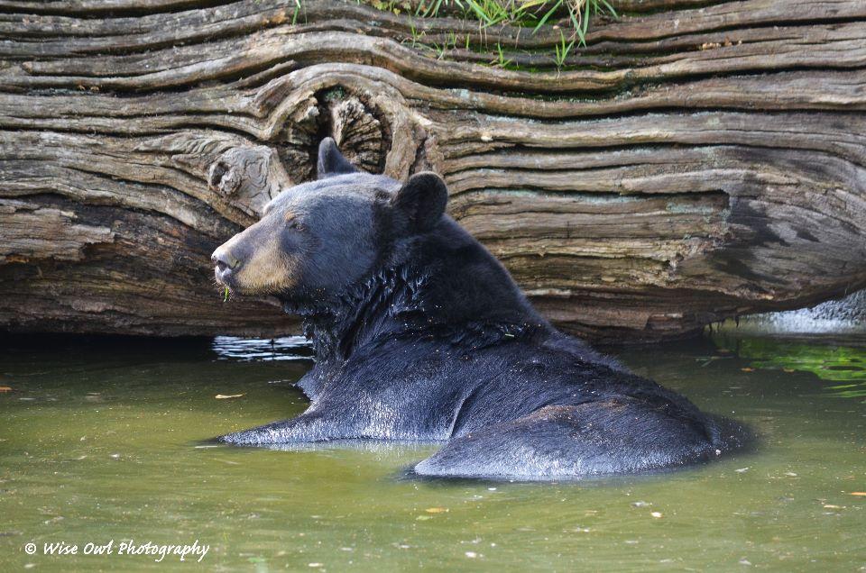 Black Bear Wallowing