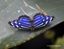 Blue Banded Purple Wing