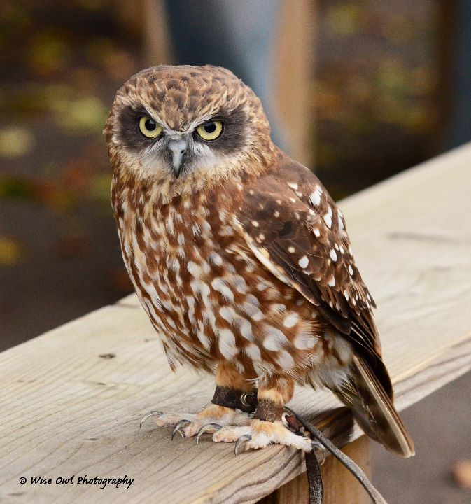 Boobuck Owl