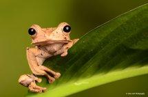 Borneo Eared Frog 1