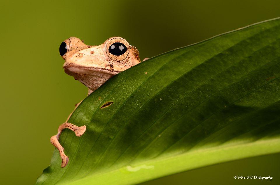 Borneo Eared Frog 2