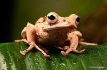 Borneo Eared Frog 3