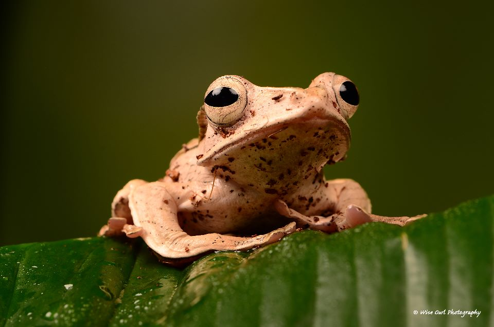 Borneo Eared Frog 4