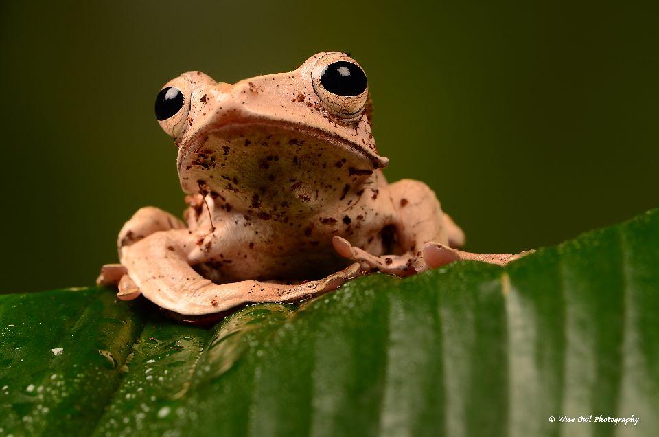 Borneo Eared Frog 5