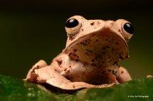 Borneo Eared Frog 6