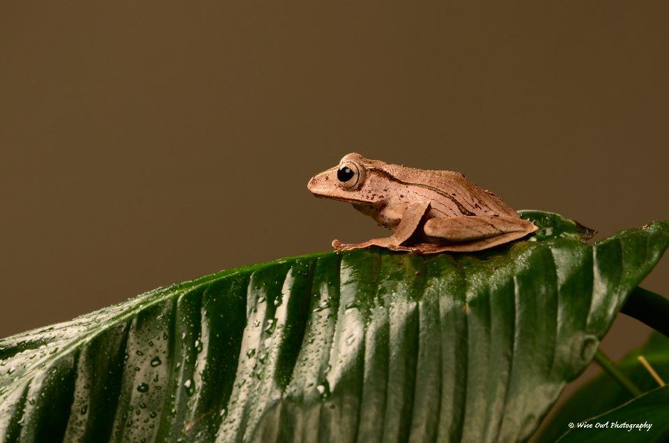 Borneo Eared Frog 7