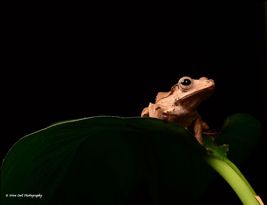Borneo Eared Frog 8