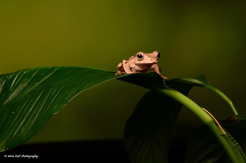 Borneo Eared Frog 9