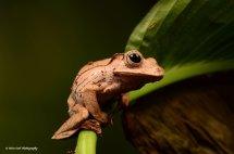Borneo Eared Frog 11