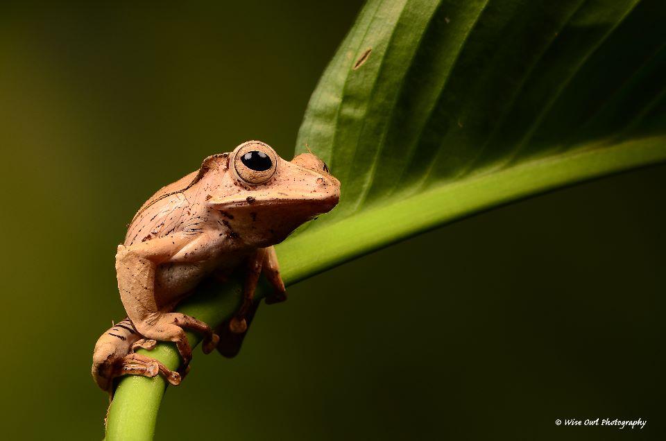 Borneo Eared Frog 12