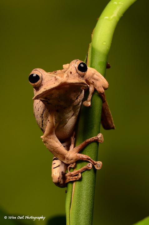 Borneo Eared Frog 13