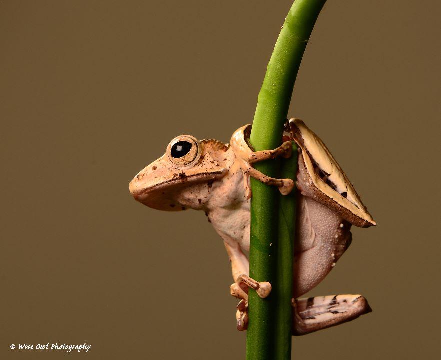 Borneo Eared Frog 14