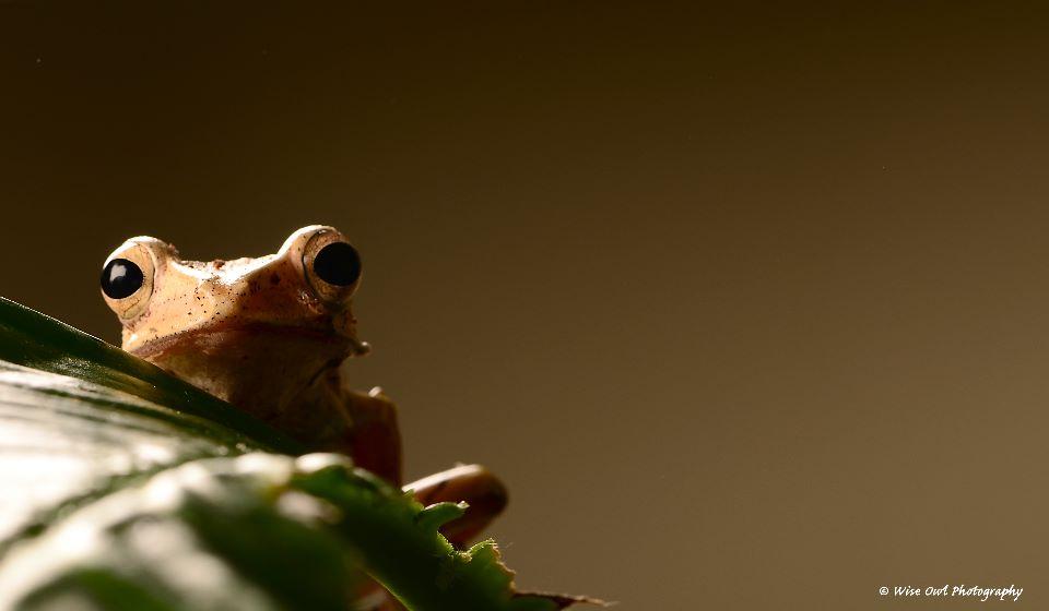 Borneo Eared Frog 15