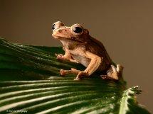 Borneo Eared Frog 16