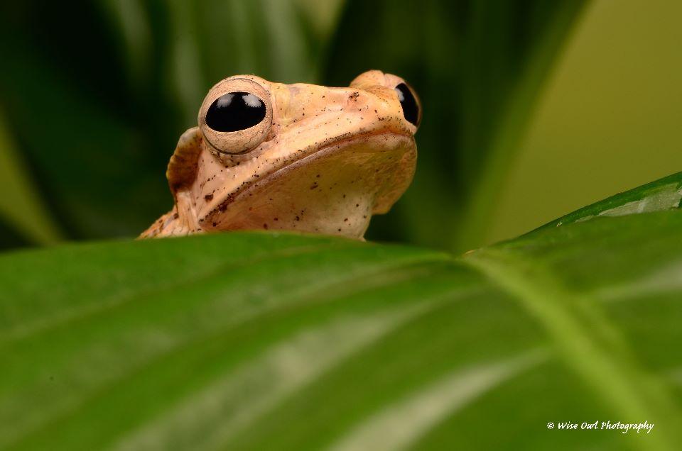 Borneo Eared Frog 17