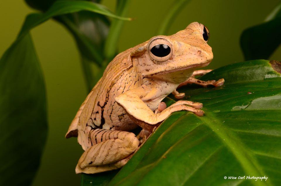Borneo Eared Frog 18