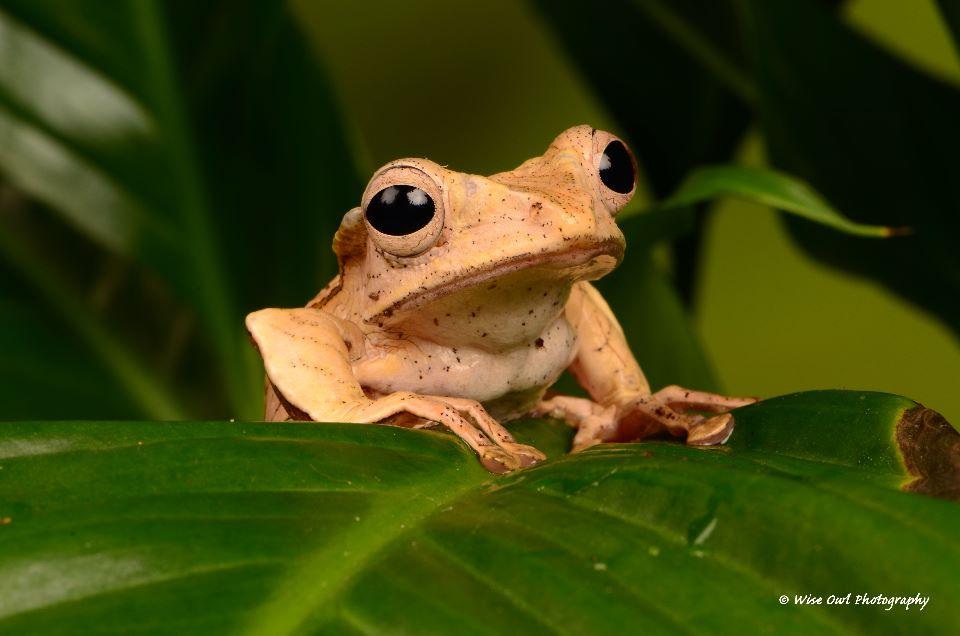 Borneo Eared Frog 19