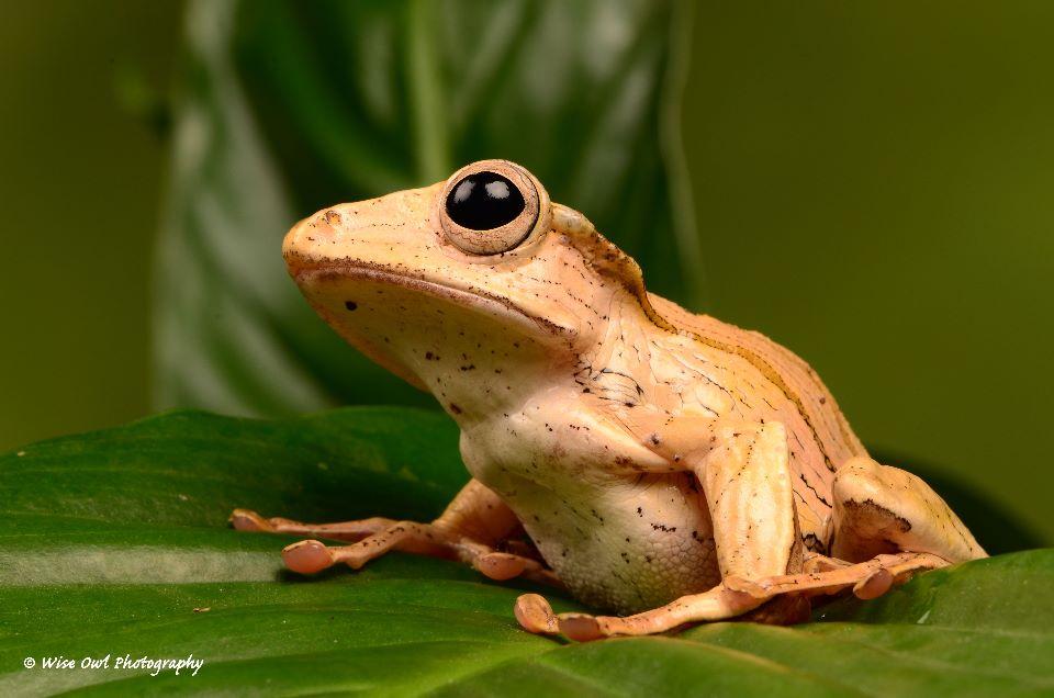 Borneo Eared Frog 22