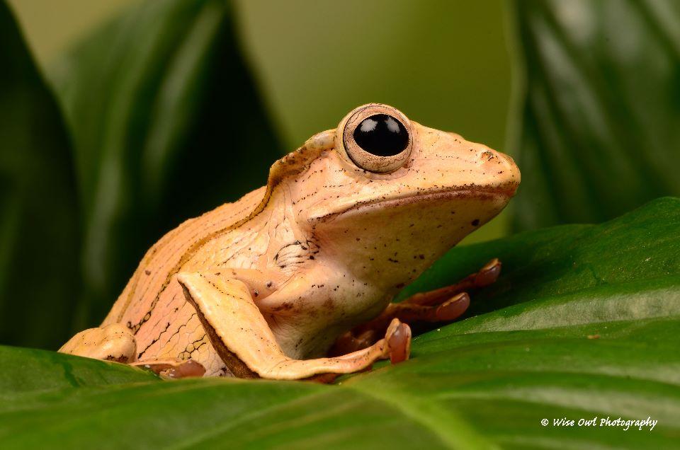 Borneo Eared Frog 21