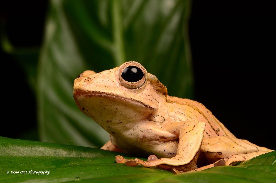Borneo Eared Frog 20