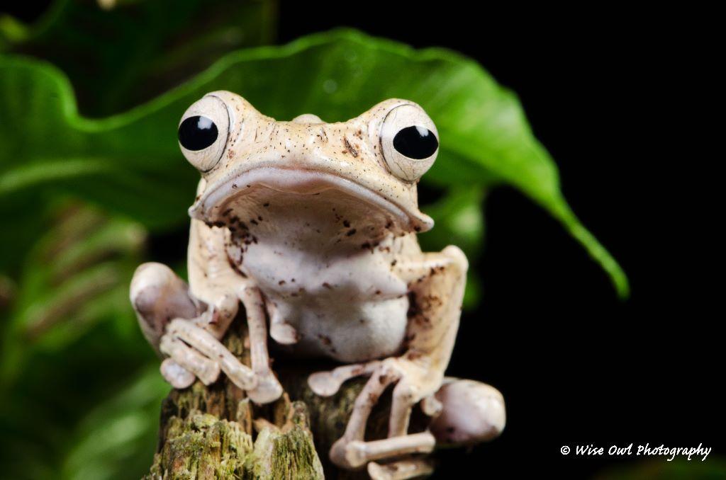 Borneo Eared Frog 23