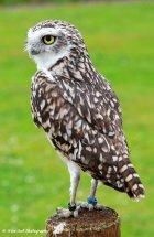 Burrowing Owl 1