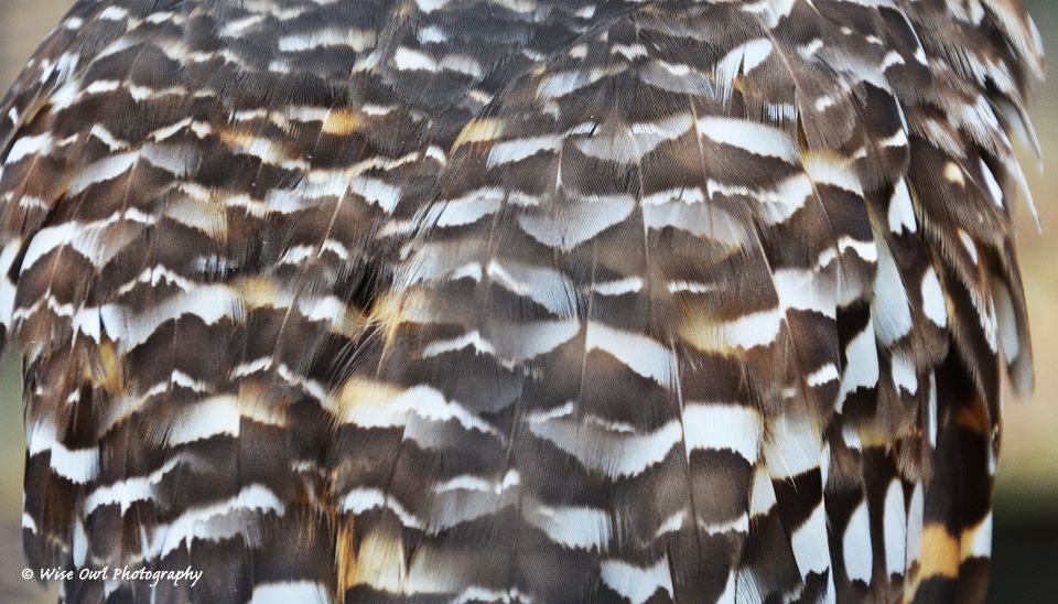 Burrowing Owl Feathers