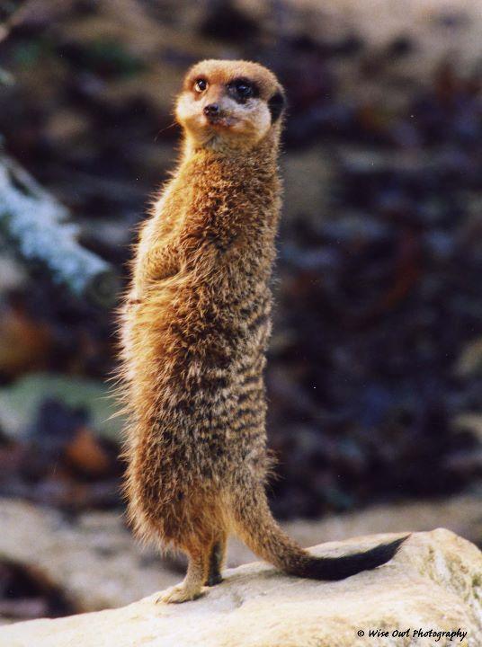 Cheeky Meerkat