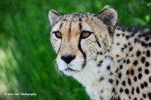 Cheetah 6