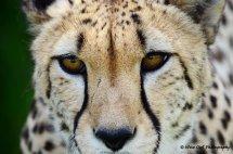Cheetah 8