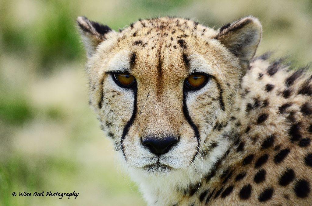 Cheetah 11