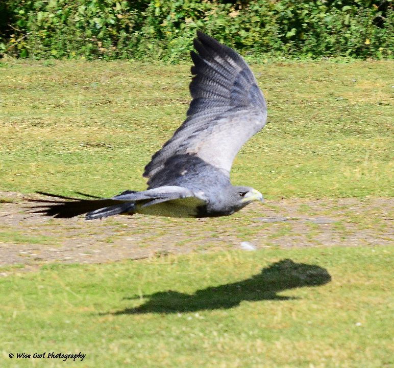 Chilean Blue Eagle 1