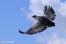 Chilean Blue Eagle 2