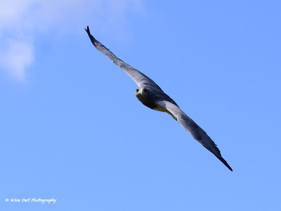 Chilean Blue Eagle 3