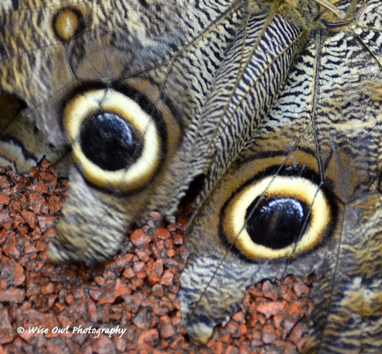 Forest Giant Owl Butterfly Wing 1