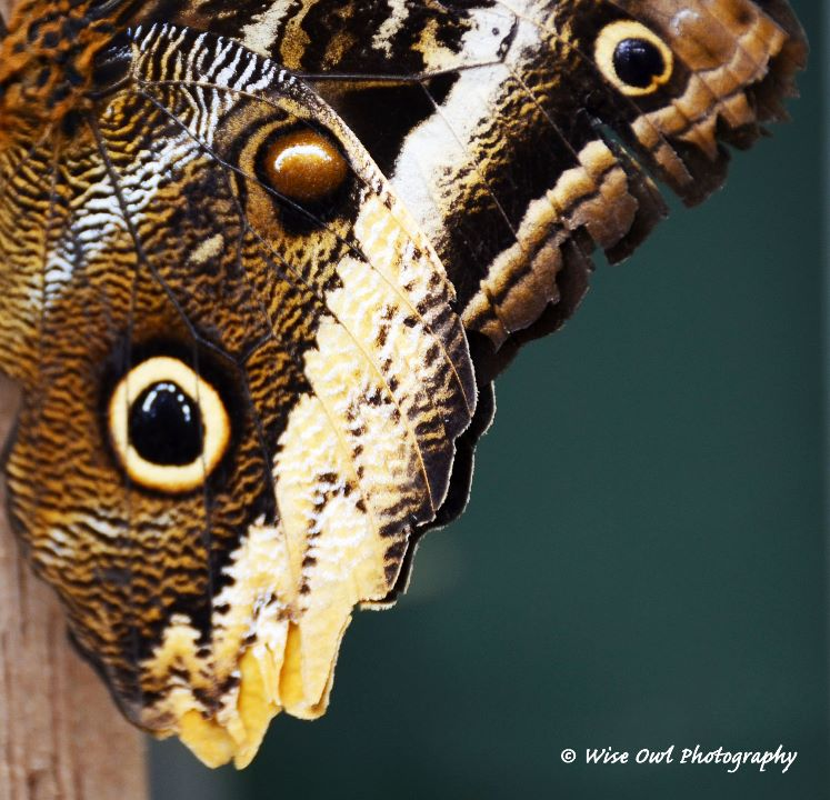 Forest Giant Owl Butterfly Wing 2