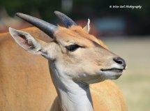 Eastern Mountain Bongo Antelope